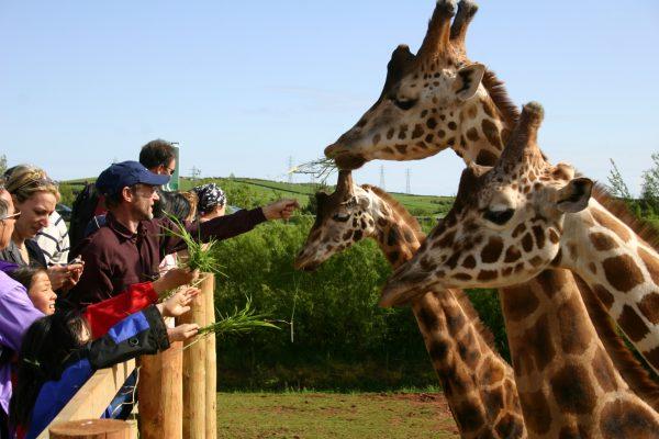 Hand feed giraffes 1