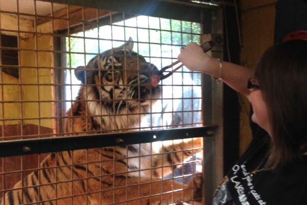 Tiger hand feeding