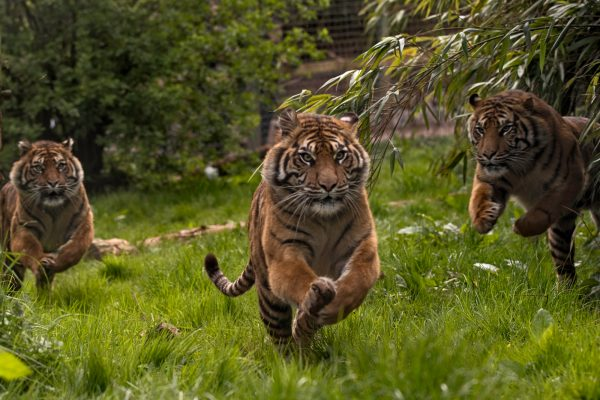 Meet the big cats