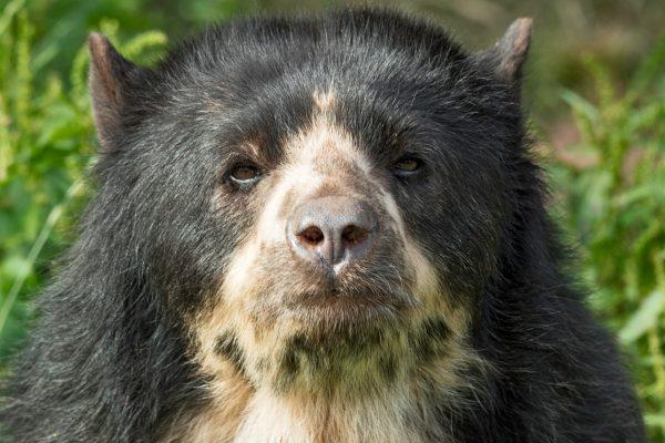 Andean Bear 1