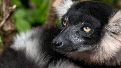 Belted Black and White Lemur
