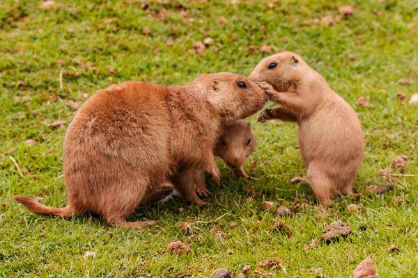 Black-tailed prairie marmot