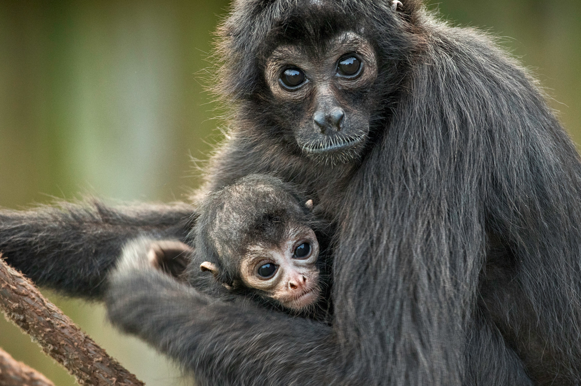 Columbian spider monkey