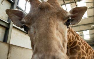 West African Giraffe 1