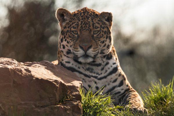 Jaguar 3