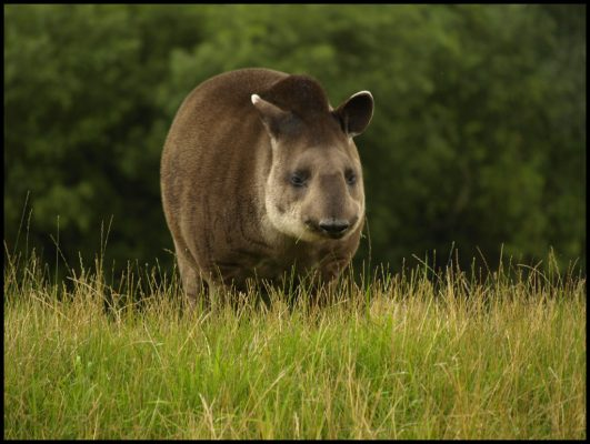 Lowland tapir 1