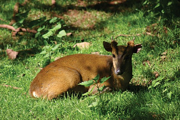Reeve's Muntjac Deer