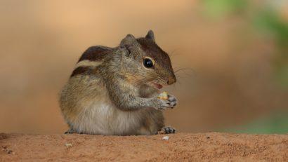 Siberian chipmunk 1