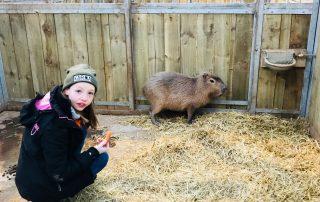 Junior Keeper for the Day - Capybara feeding