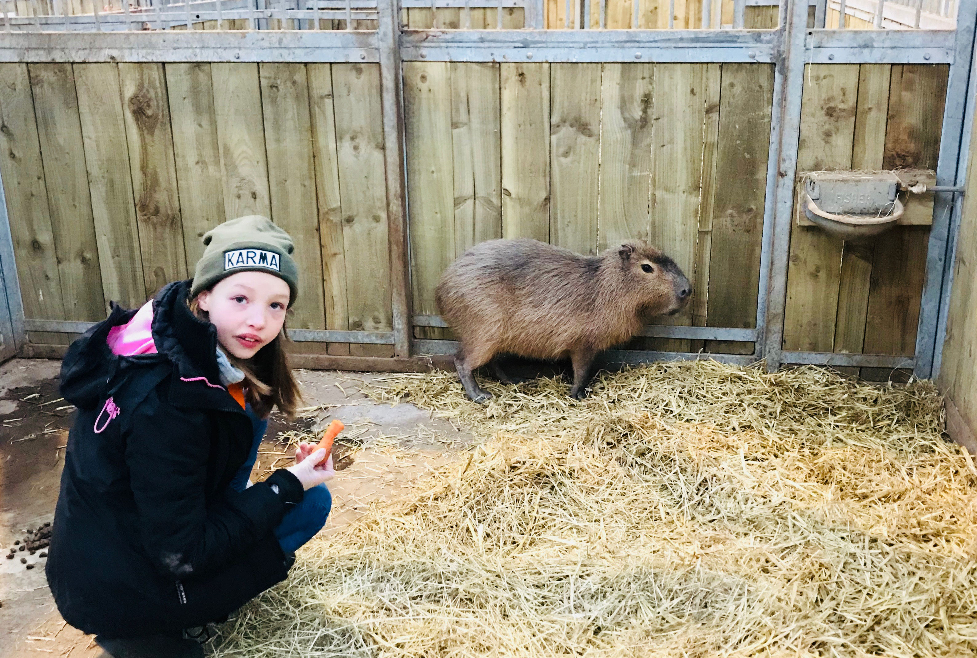 Junior Keeper for the Day - Capybara feeding