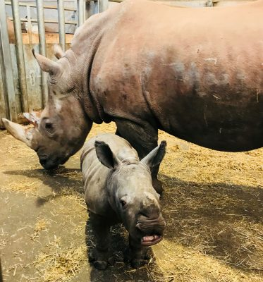 Junior Keeper for the Day - Baby Rhino feeding