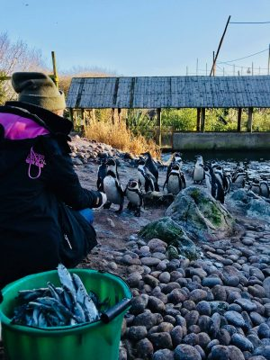 Junior Keeper for the Day - Penguin feeding