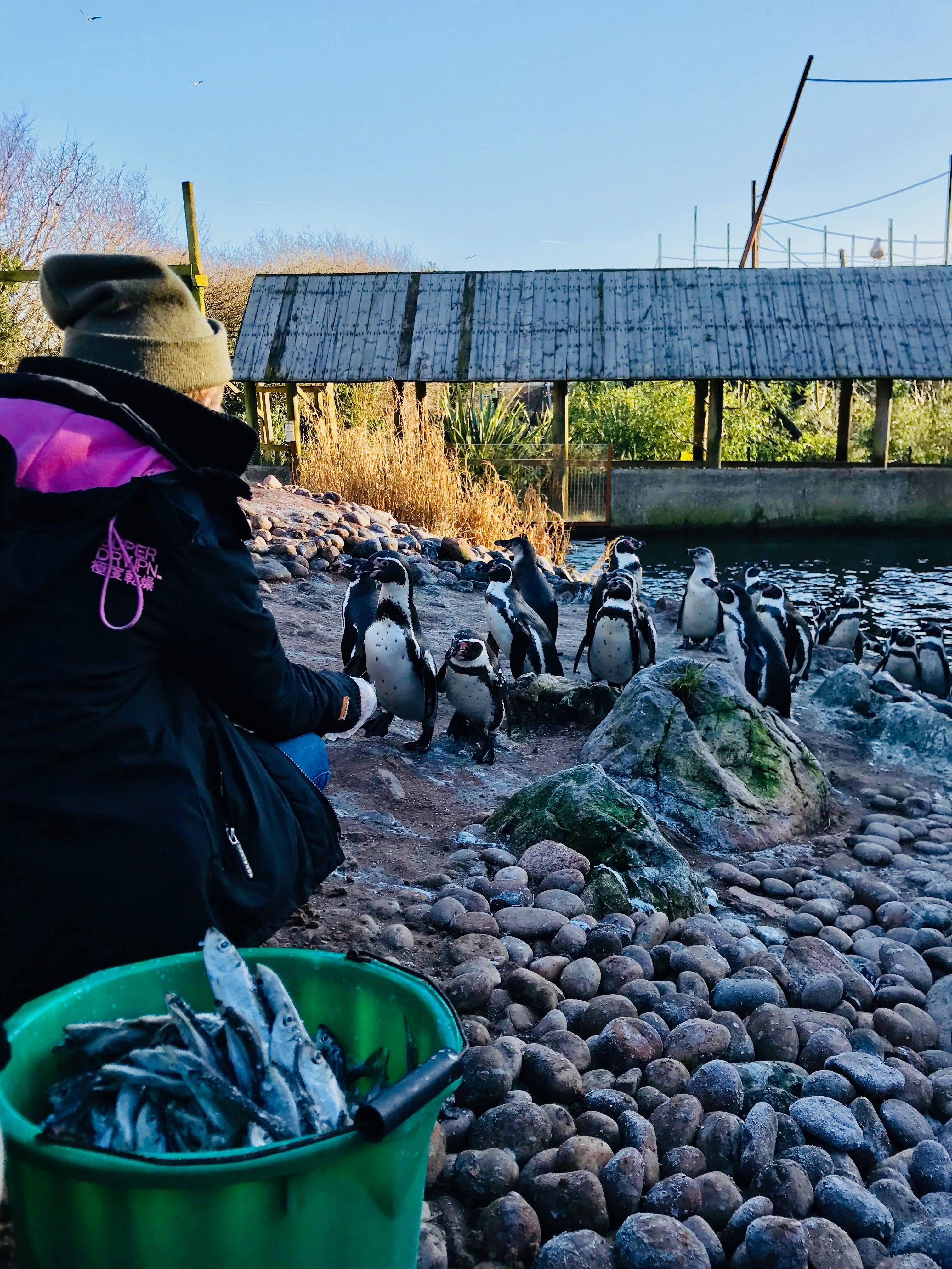 Junior Keeper for the Day - Penguin feeding