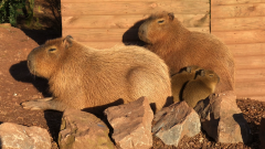 Capybara Family with Babies