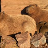 Capybara Family with Babies