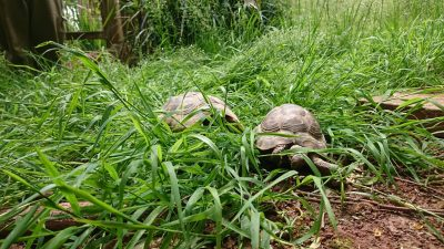 Tortoise Balmoral! 2