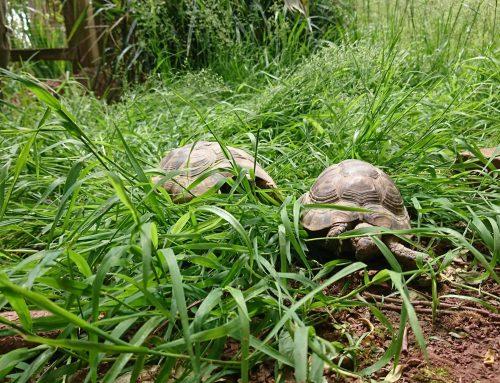 Tortoise Balmoral!