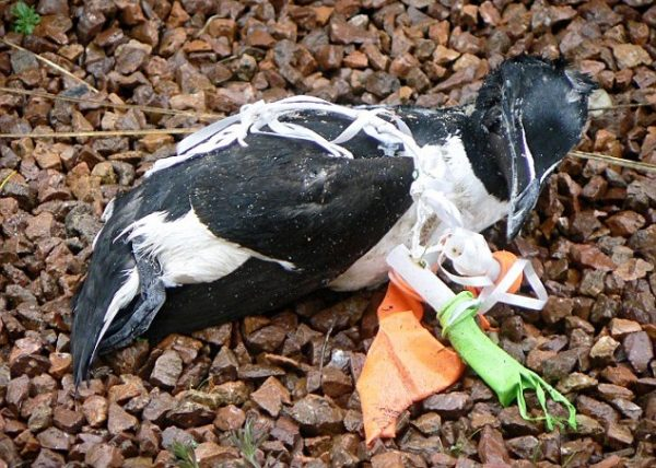 Bird Tied Up with Plastic