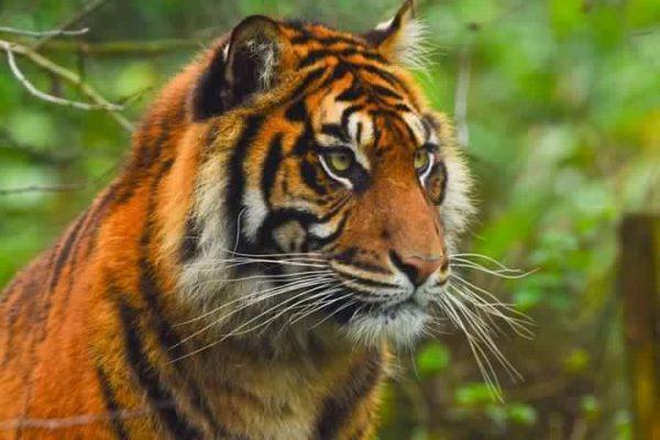 International Tiger Day 2018 9