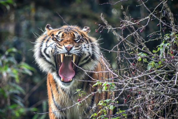 International Tiger Day 2018 15
