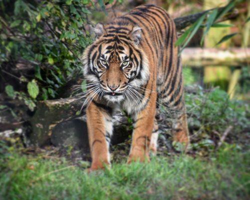 International Tiger Day 2018 16