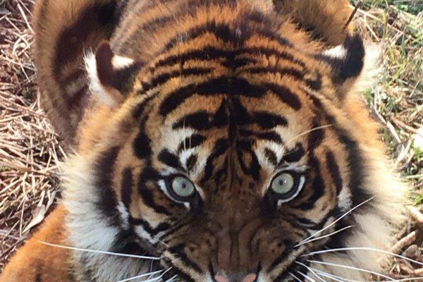 International Tiger Day 2018 4