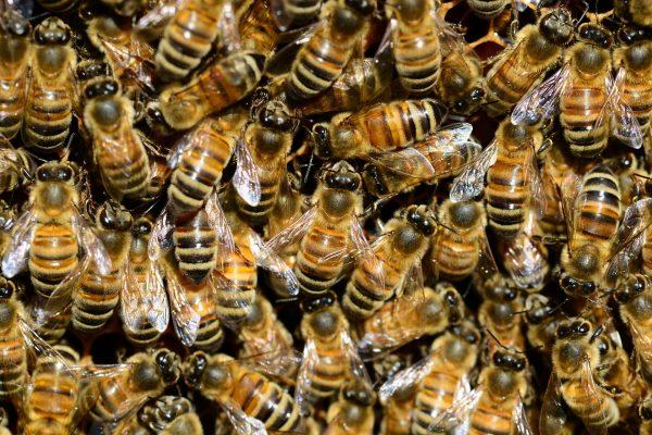 World Honey Bee Day 5