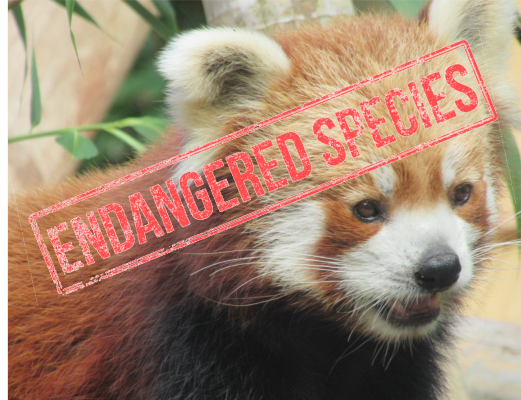 Sponsoring a Red Panda Forest Guardian 10
