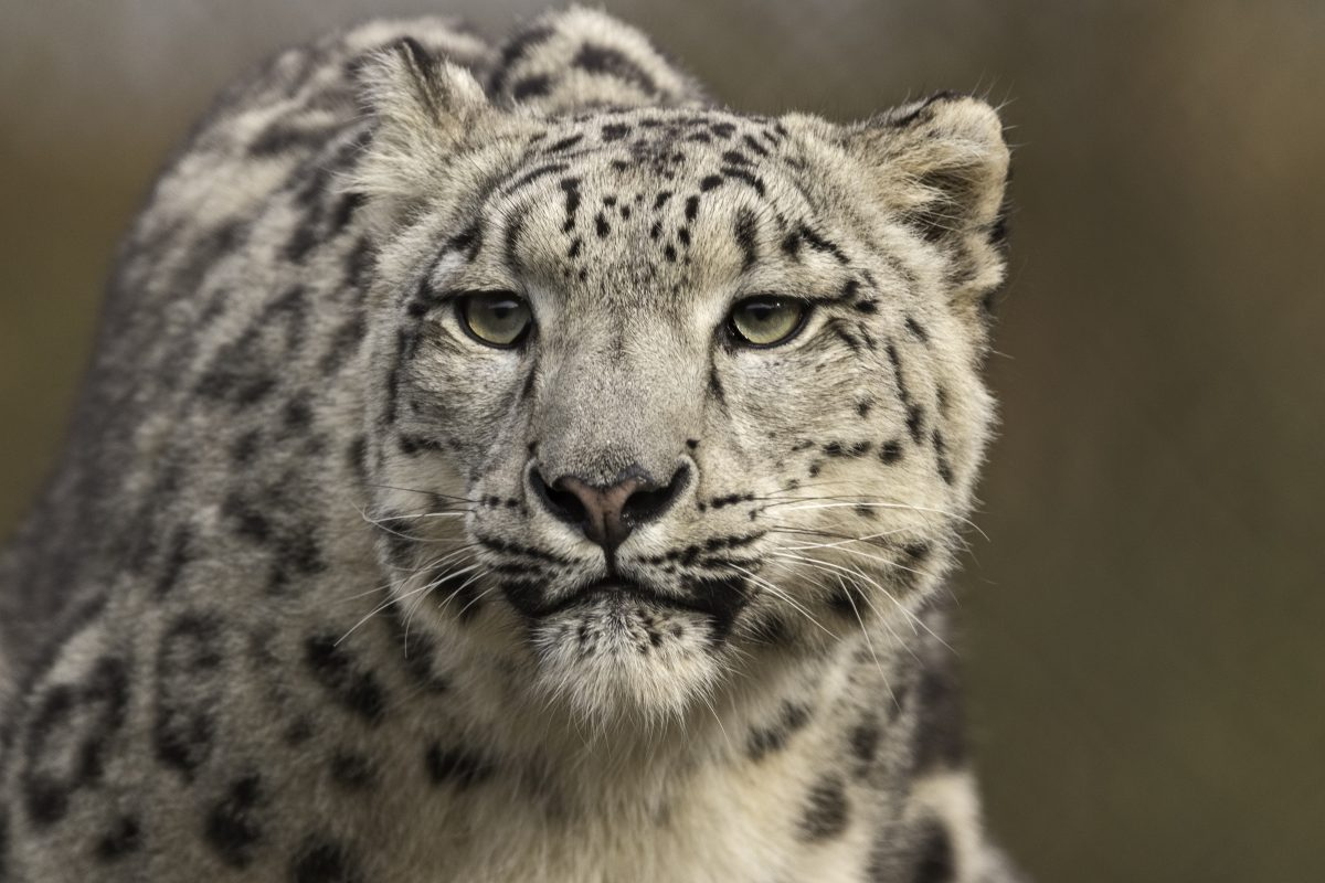 The Super Snow Leopard Feed