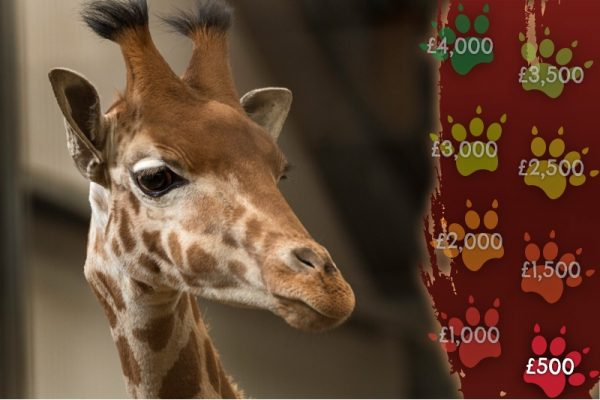 Giraffe's - Fighting The Silent Extinction